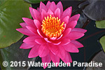 Nymphaea 'Perry's Viviparous Pink'