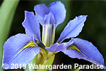 Iris 'Lake Ouachita' (Louisiana Iris)