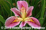 Iris 'Pink Poetry' (Louisiana Iris)
