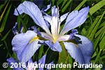 Iris 'Sea Wisp' (Louisiana Iris)