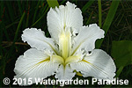 Iris 'Dural White Butterfly' (Louisiana Iris)